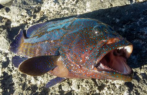 invasive hawaii fish grouper peacock most imgur caught species recently comments roi introduced mo