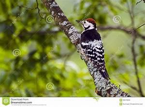 Comment Creuser Un Tronc D Arbre : pivert sur un tronc d 39 arbre photo stock image du corce grand 36576604 ~ Melissatoandfro.com Idées de Décoration