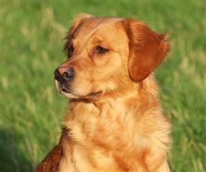 Dark Golden Retriever Stud Dog | Newark, Nottinghamshire ...