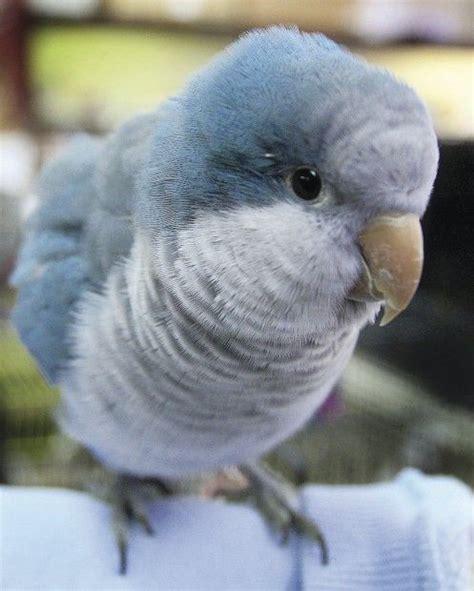 blue quaker parrot blue mutation quaker parrot animals pinterest