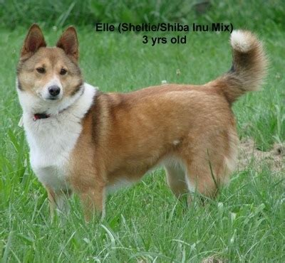 sheltie inu dog breed information  pictures