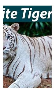 White tiger 10 Facts with Bommi | Facts with ...