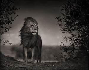 Tableau Lion Noir Et Blanc : photographies noir et blanc d animaux sauvages par nick brandt la mauvaise herbe ~ Dallasstarsshop.com Idées de Décoration