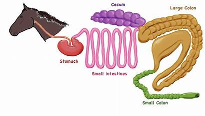 Digestive Horse Tract System Equine Cecum Gastrointestinal