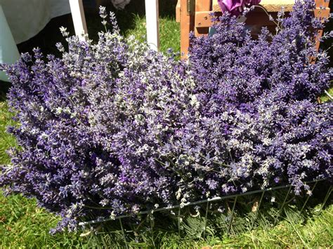 soil type for lavender soil type for lavender 28 images a gardener s guide to lavender take me away 28 the