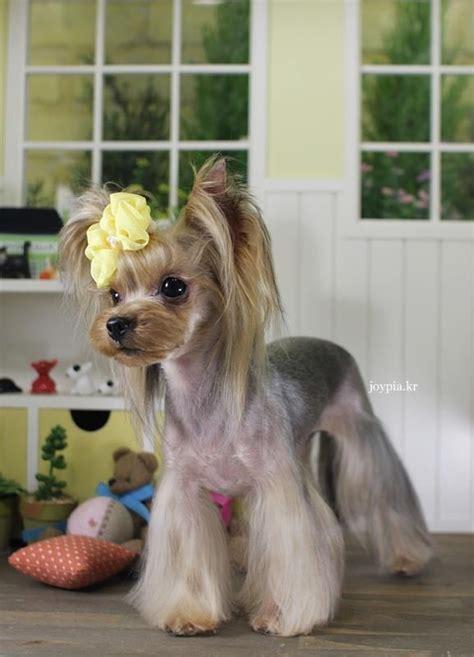 teacup yorkie shedding terrier grooming style images korean