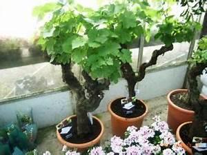 Achat Pied De Vigne Raisin De Table : pieds de vigne en pot le pouvoir des fleurs ~ Nature-et-papiers.com Idées de Décoration