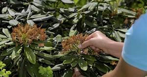 Rhododendron Blüten Schneiden : verwelkte rhododendron bl ten ausbrechen mein sch ner garten ~ A.2002-acura-tl-radio.info Haus und Dekorationen