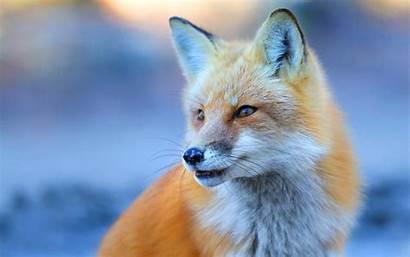 Fox Wallpapers Kawaii Wallpapersafari Backgrounds Iphone Bhmpics