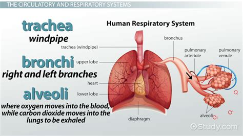 All Organs Of The Respiratory System
