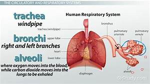 All Organs of the Respiratory System | Fosfe.com
