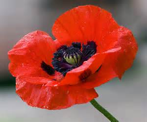 poppy flower picture poppy pictures pics images and photos for inspiration