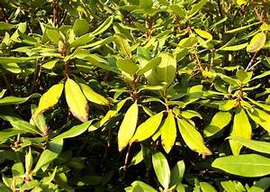 Rhododendron Braune Blätter : rhododendronkrankheiten vergilbete bl tter vergilbte ~ Lizthompson.info Haus und Dekorationen