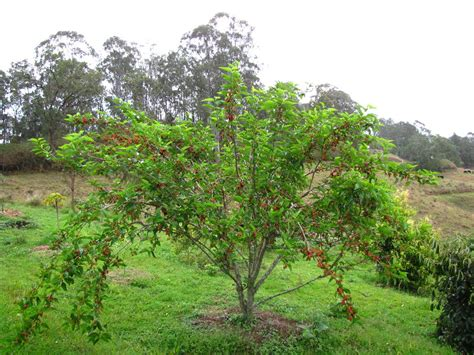 mullberry trees dwarf mulberry tree black morus nigra