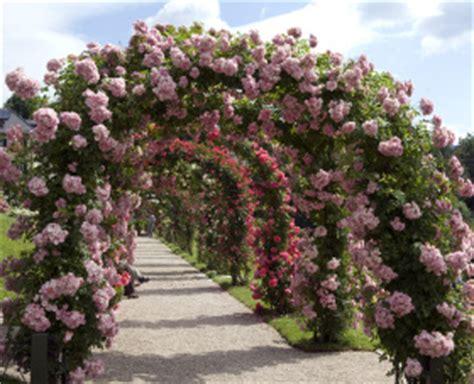 kletterrosen schneiden rosenbogen kletterrose info deine informationsseite rund um kletterrosen