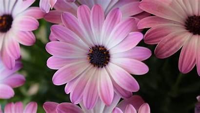 Daisy Daisies Desktop Gerber Purple Wallpapertag