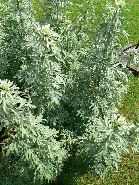 artemisia plant and when in flower