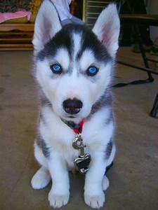 AryanaSitting1.jpg 667×890 pixels | Siberian Husky ...