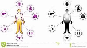 Woman Organ Icon Diagram Stock Vector  Image Of