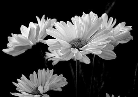 wallpaper  flora daisy daisies flower  hd