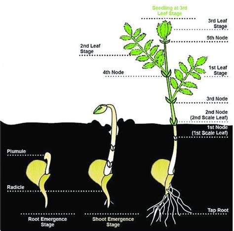 chickpea plant   growth stages  scientific
