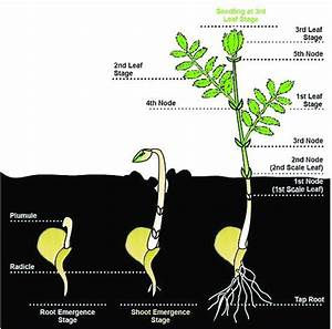Chickpea Plant And Its Growth Stages
