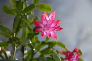 Comment Entretenir Un Cactus : comment entretenir et faire fleurir un cactus de no l ~ Nature-et-papiers.com Idées de Décoration