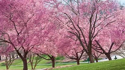 Trees Cherry Spring Tree Flowering Grow Blooming