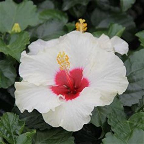 hibiscus tropical costa farms