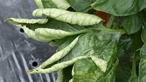 Tomaten Krankheiten Bilder : tomatenkrankheiten ~ Frokenaadalensverden.com Haus und Dekorationen