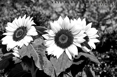 sunflowers  black  white quality prints