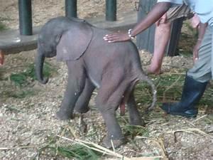 Elephant Being Born