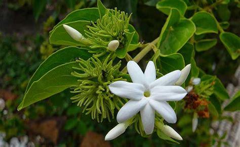 menanam bunga melati stek beserta gambar  full video
