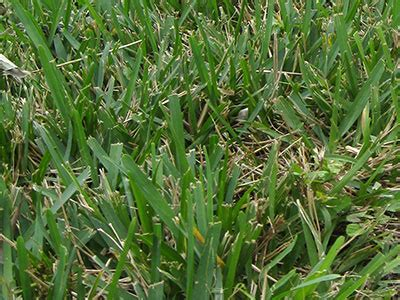 st augustine grass gardening solutions university