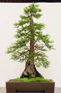 Redwood Bonsai Tree