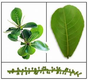 Talisay / Terminalia catappa / Indian Almond / Lan ren shu ...
