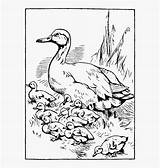 Coloring Tadpole Printable Ducklings Way Pages Duckling Duck Baby Clipart Clipartkey sketch template