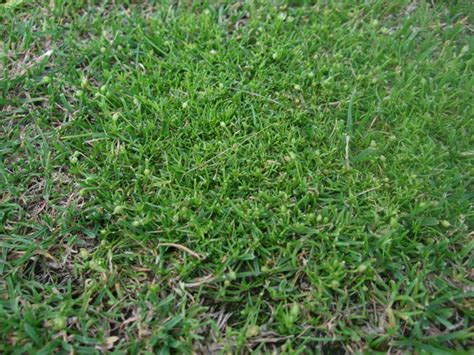 lawn weeds procumbent pearlwort identify control this lawn weed lawn weeds