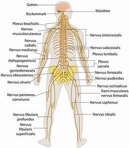 Nervensystem  U2013 Wikipedia
