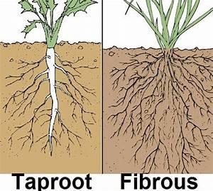 #Taproot vs #Fibrous root plants - Žiličast vs osovinski ...