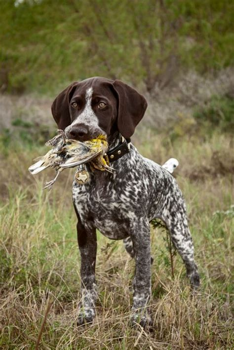 German Shorthaired Pointer History, Personality