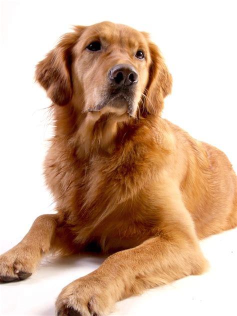 golden retriever dog animal  photo  pixabay