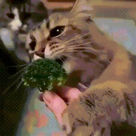 cat eating vegetables gifs find share  giphy
