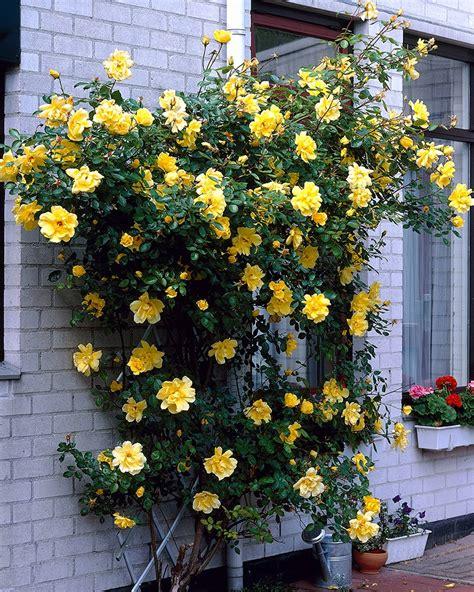 Golden Showers K 246 Ynn 246 Sruusu Golden Showers Viherpeukalot Fi