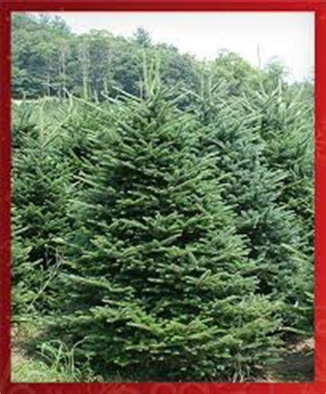 turkish fir bishop and mathews christmas trees