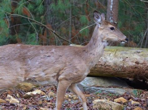 Don't Eat Contaminated Venison; Check Deer For