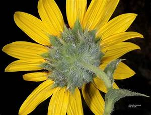Helianthus annuus (common sunflower): Go Botany