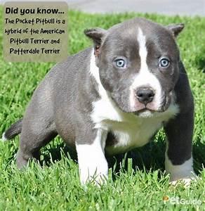 american pitbull terrier breeders
