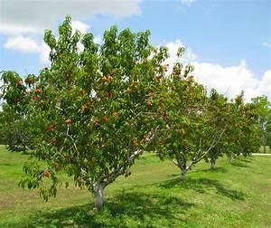 peach tree - Google Search | Hearthstone | Pinterest ...