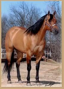 Dun Quarter Horse Stallion - Performance Stallion